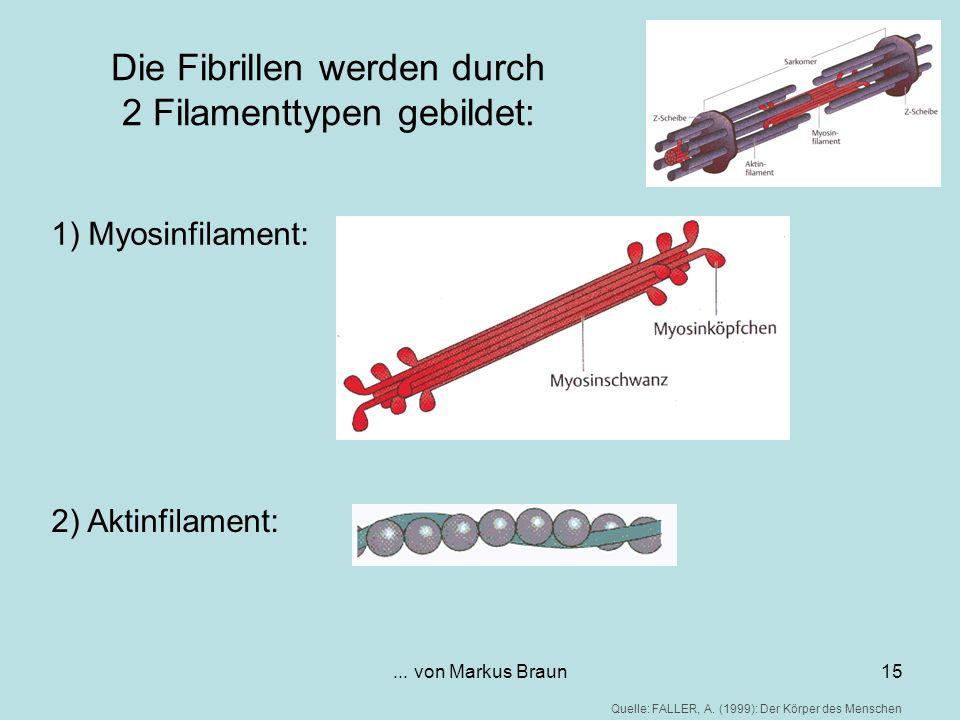 Die Fibrillen werden durch 2 Filamenttypen gebildet:
