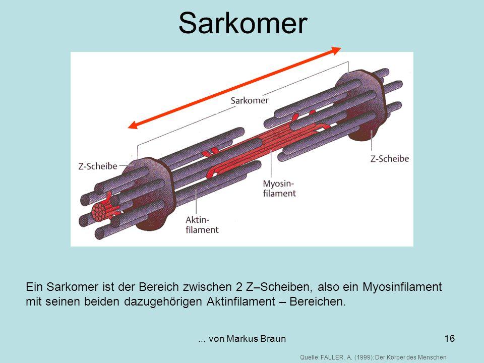 Sarkomer Ein Sarkomer ist der Bereich zwischen 2 Z–Scheiben, also ein Myosinfilament mit seinen beiden dazugehörigen Aktinfilament – Bereichen.