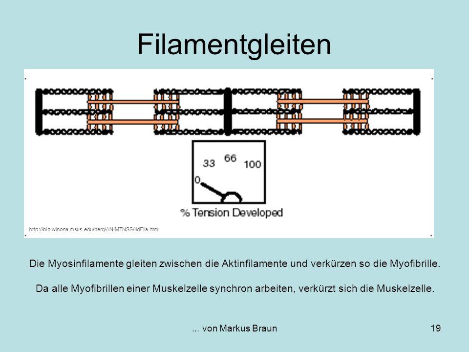 Filamentgleiten http://bio.winona.msus.edu/berg/ANIMTNSS/lidFila.htm.