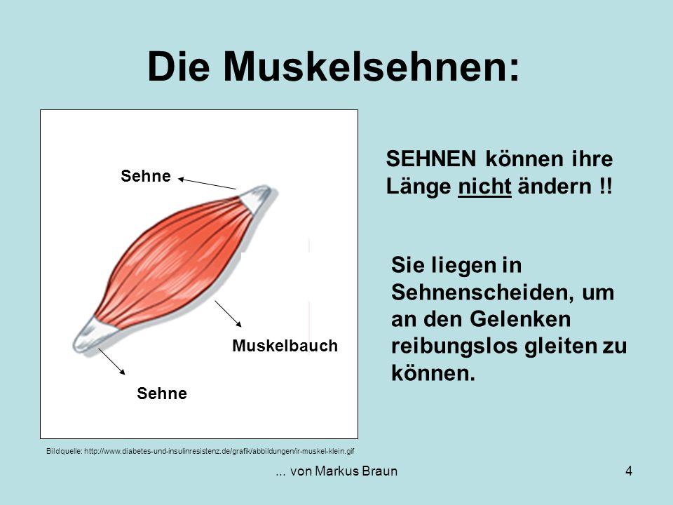 Die Muskelsehnen: SEHNEN können ihre Länge nicht ändern !!