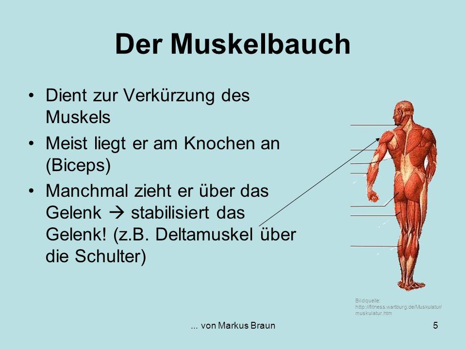 Der Muskelbauch Dient zur Verkürzung des Muskels