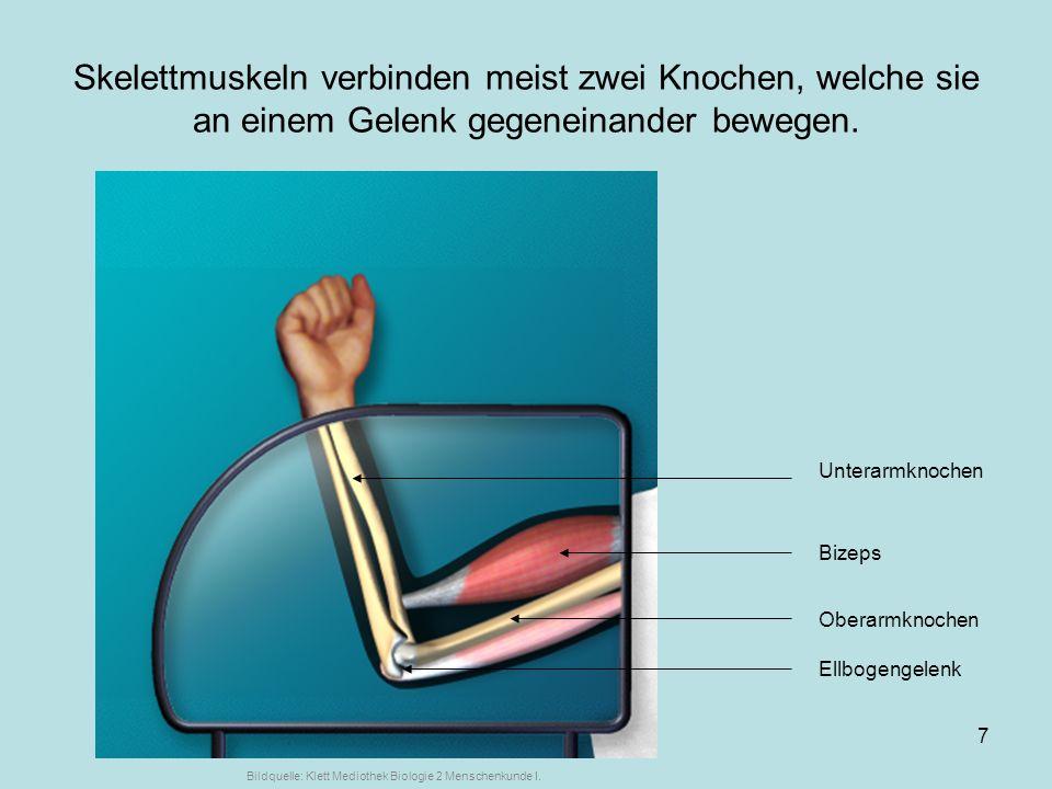 Skelettmuskeln verbinden meist zwei Knochen, welche sie an einem Gelenk gegeneinander bewegen.