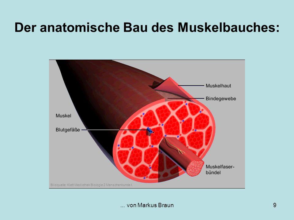 Der anatomische Bau des Muskelbauches: