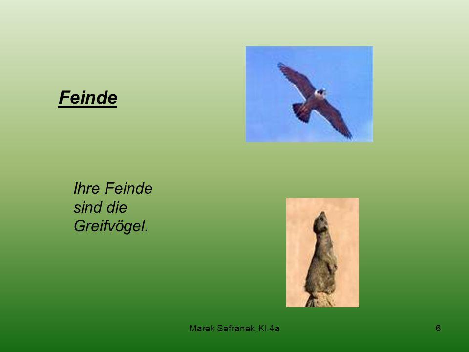 Feinde Ihre Feinde sind die Greifvögel. Marek Sefranek, Kl.4a