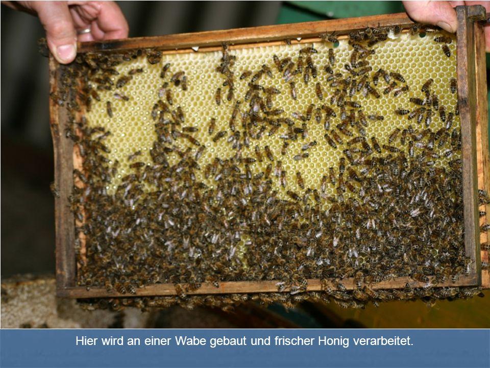 Hier wird an einer Wabe gebaut und frischer Honig verarbeitet.