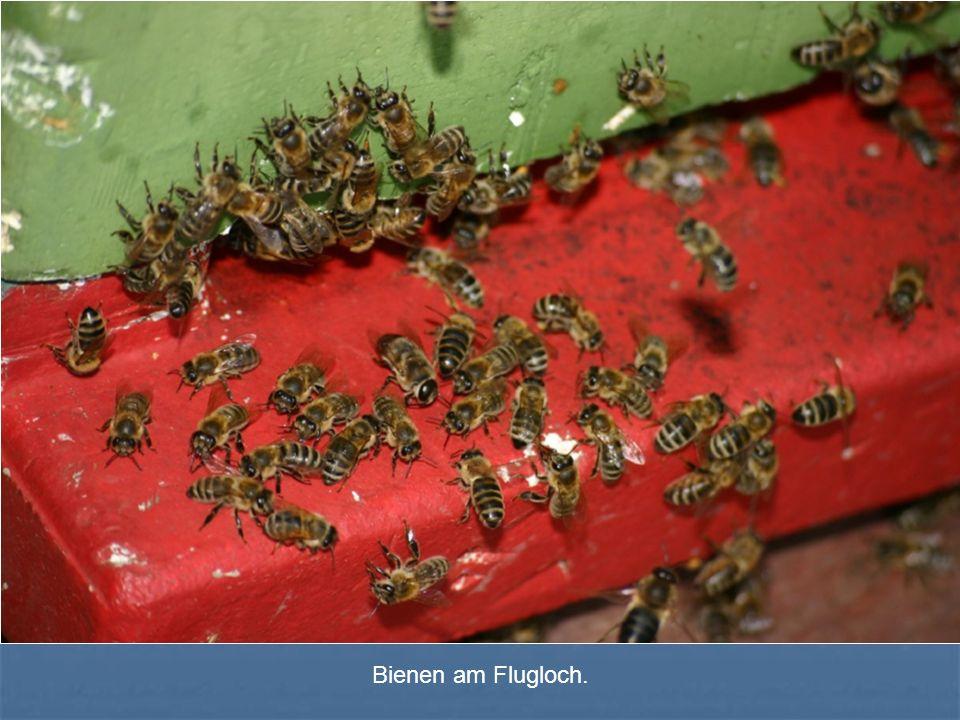 Bienen am Flugloch.