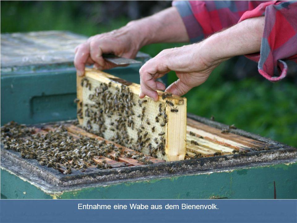 Entnahme eine Wabe aus dem Bienenvolk.