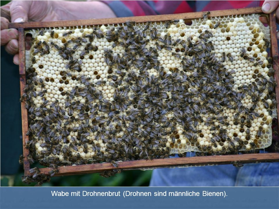 Wabe mit Drohnenbrut (Drohnen sind männliche Bienen).