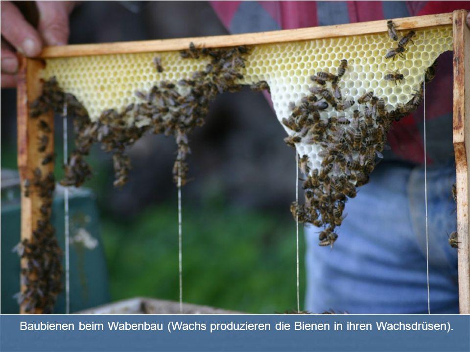 Baubienen beim Wabenbau (Wachs produzieren die Bienen in ihren Wachsdrüsen).