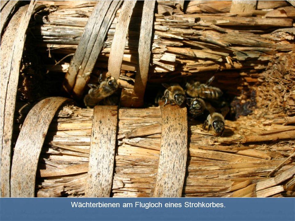 Wächterbienen am Flugloch eines Strohkorbes.