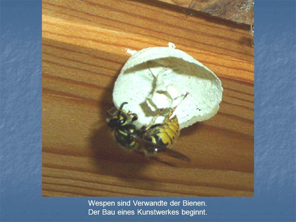 Wespen sind Verwandte der Bienen. Der Bau eines Kunstwerkes beginnt.