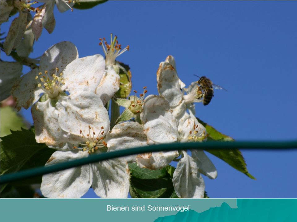 Bienen sind Sonnenvögel