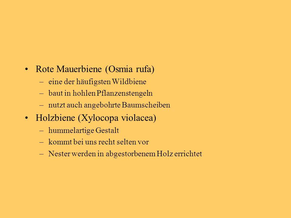 Rote Mauerbiene (Osmia rufa)