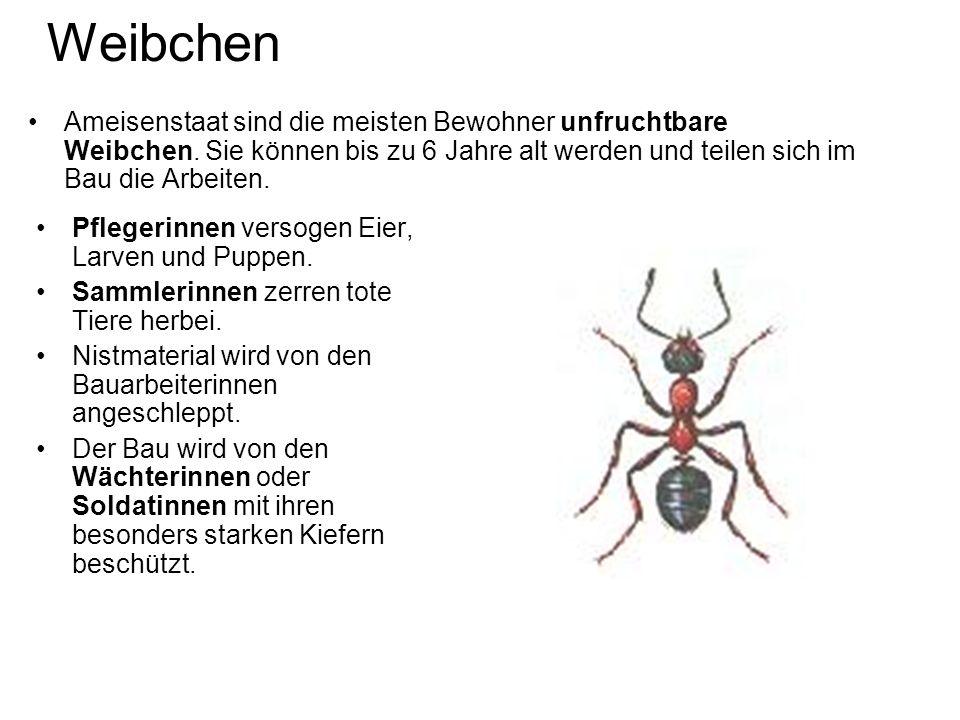 Weibchen Ameisenstaat sind die meisten Bewohner unfruchtbare Weibchen. Sie können bis zu 6 Jahre alt werden und teilen sich im Bau die Arbeiten.