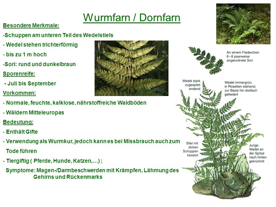 Wurmfarn / Dornfarn Besondere Merkmale: