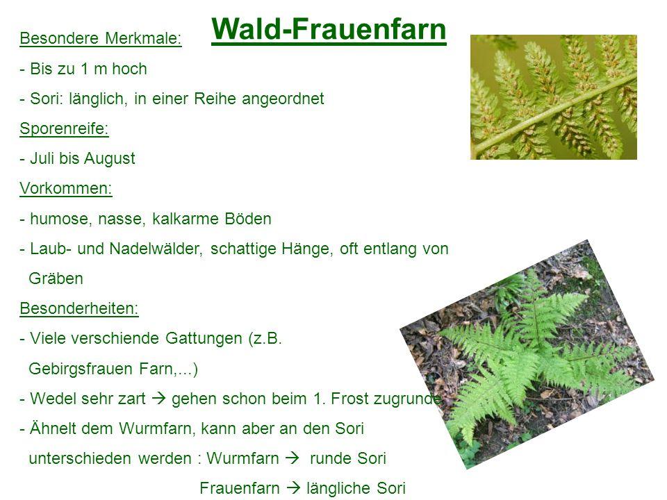 Wald-Frauenfarn Besondere Merkmale: Bis zu 1 m hoch