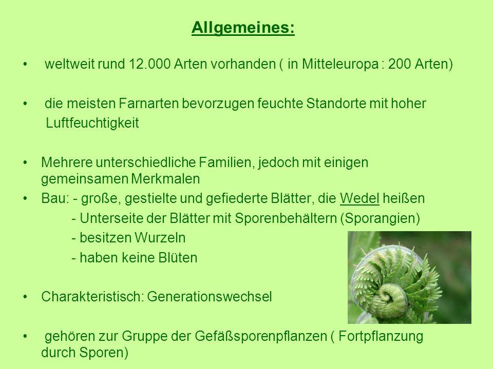 Allgemeines: weltweit rund 12.000 Arten vorhanden ( in Mitteleuropa : 200 Arten) die meisten Farnarten bevorzugen feuchte Standorte mit hoher.