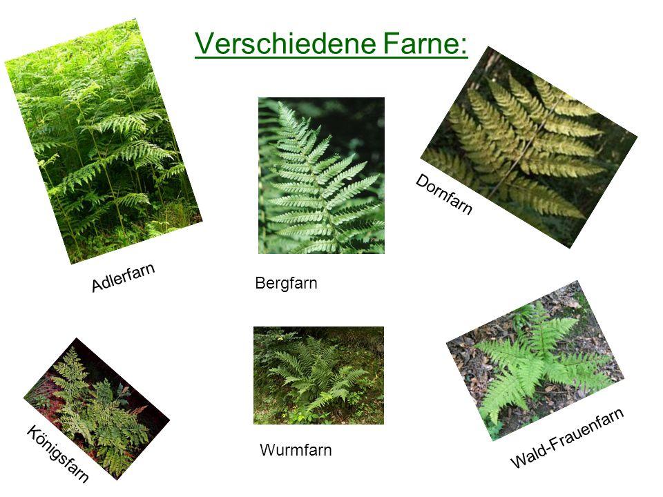 Verschiedene Farne: Dornfarn Adlerfarn Bergfarn Wald-Frauenfarn