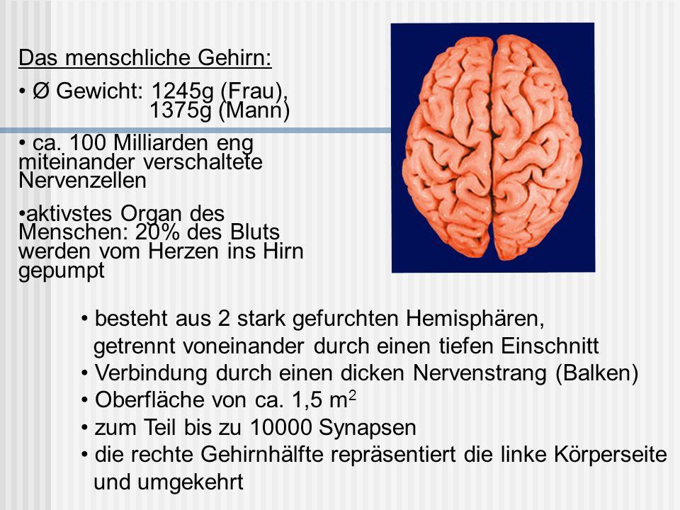 Das menschliche Gehirn: