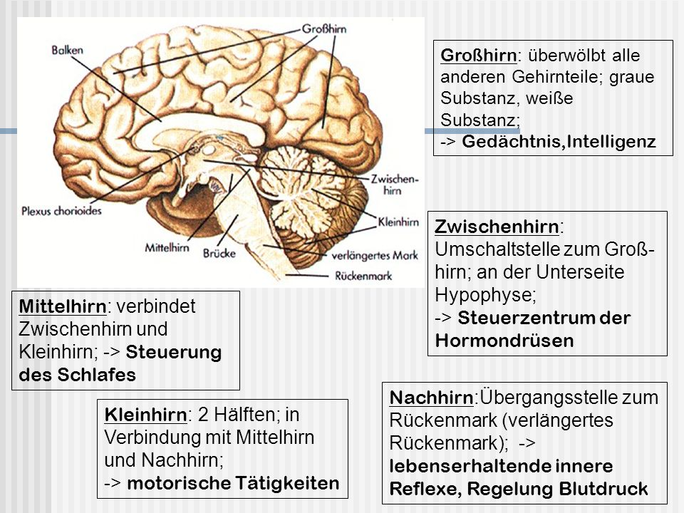 Berühmt Gehirn Teile Beschriftet Ideen - Menschliche Anatomie Bilder ...