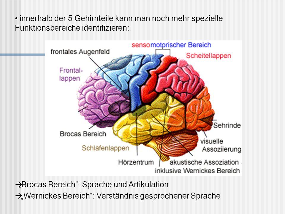 innerhalb der 5 Gehirnteile kann man noch mehr spezielle Funktionsbereiche identifizieren: