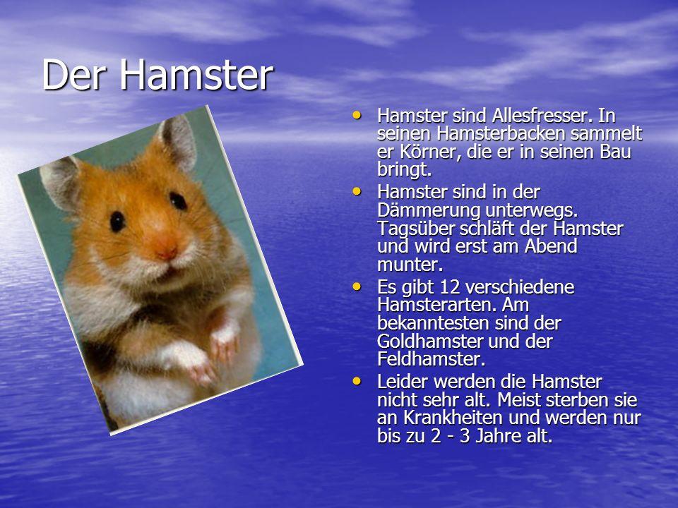 Der Hamster Hamster sind Allesfresser. In seinen Hamsterbacken sammelt er Körner, die er in seinen Bau bringt.