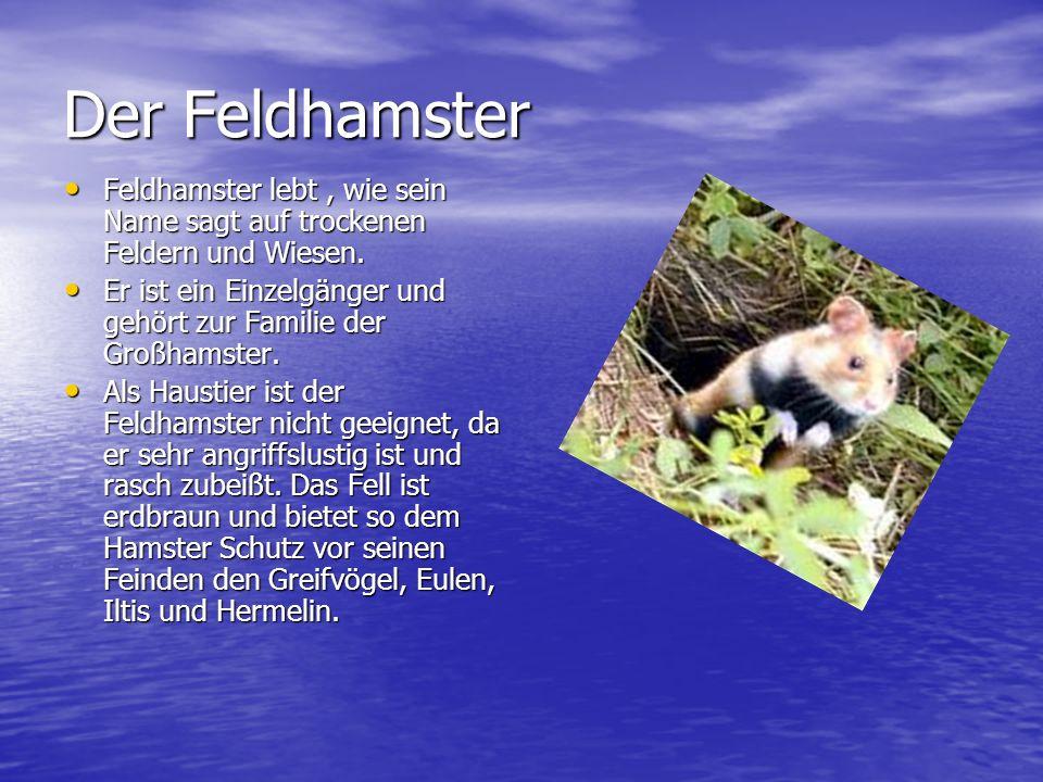 Der Feldhamster Feldhamster lebt , wie sein Name sagt auf trockenen Feldern und Wiesen.