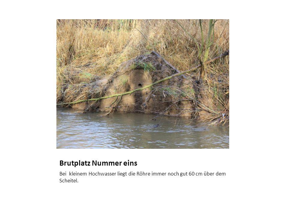 Brutplatz Nummer einsBei kleinem Hochwasser liegt die Röhre immer noch gut 60 cm über dem Scheitel.