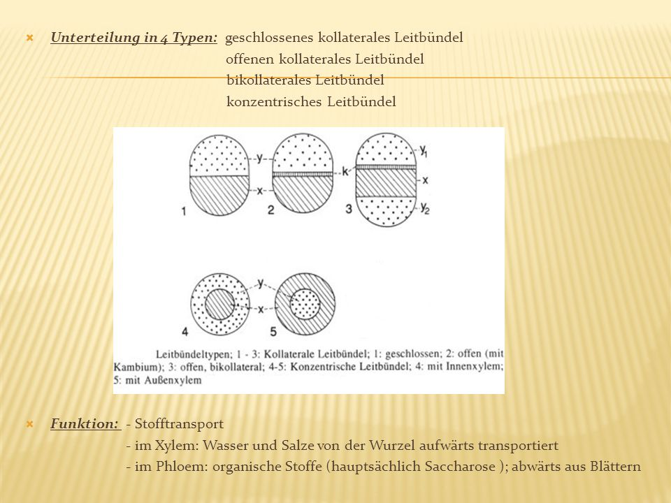 Unterteilung in 4 Typen: geschlossenes kollaterales Leitbündel