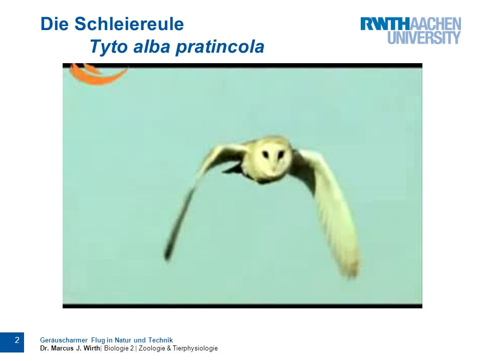 Die Schleiereule Tyto alba pratincola