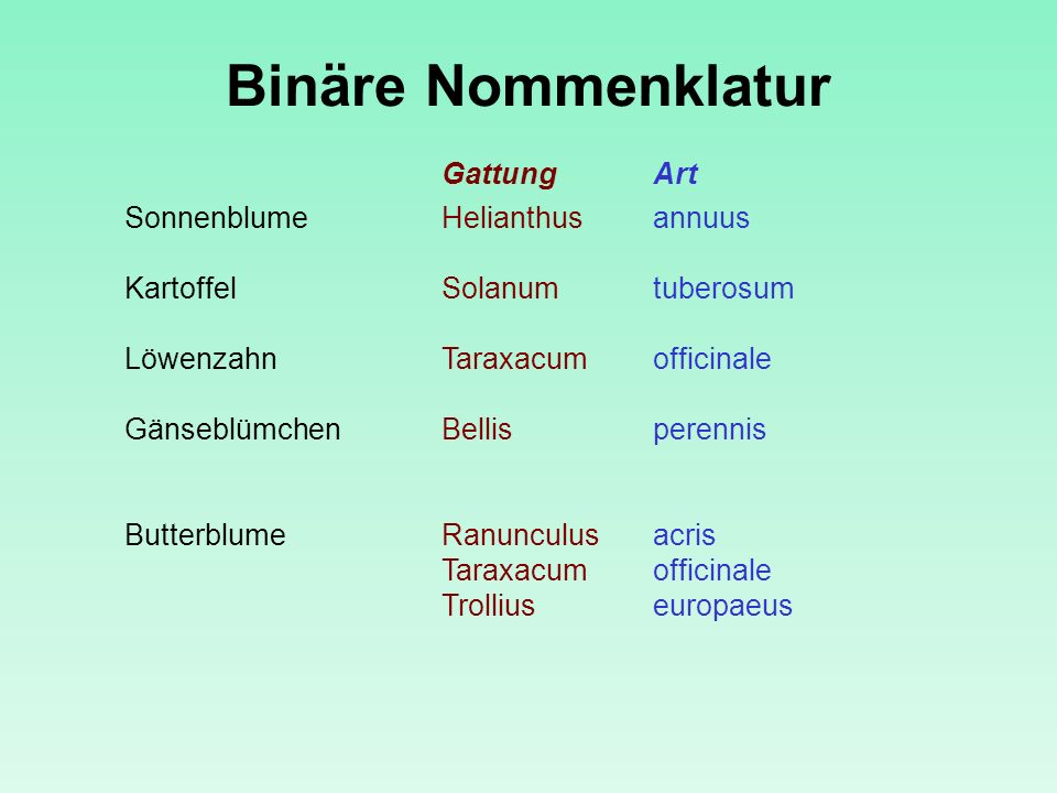 Binäre Nommenklatur Gattung Art Sonnenblume Helianthus annuus