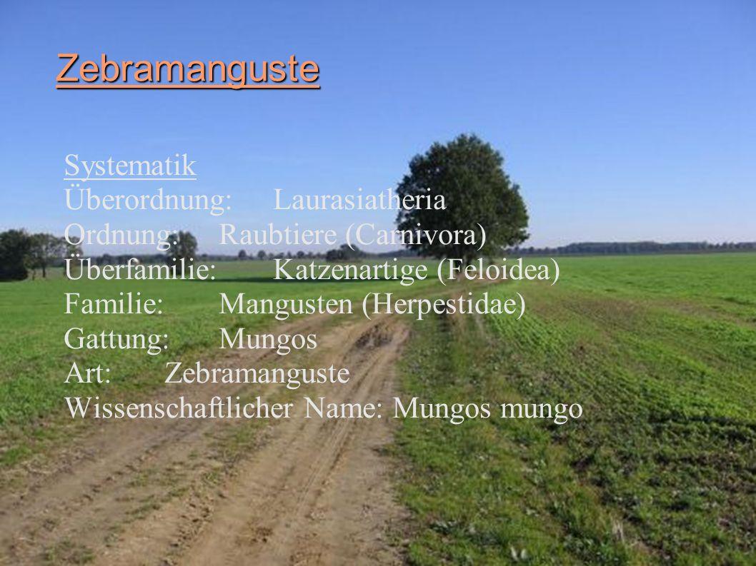 Zebramanguste Systematik Überordnung: Laurasiatheria