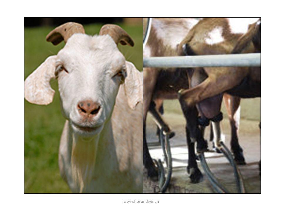Wer kennt Ziegen. Und das Ziegenkind. Was kann es essen, wenn die Milch die Menschen brauchen.