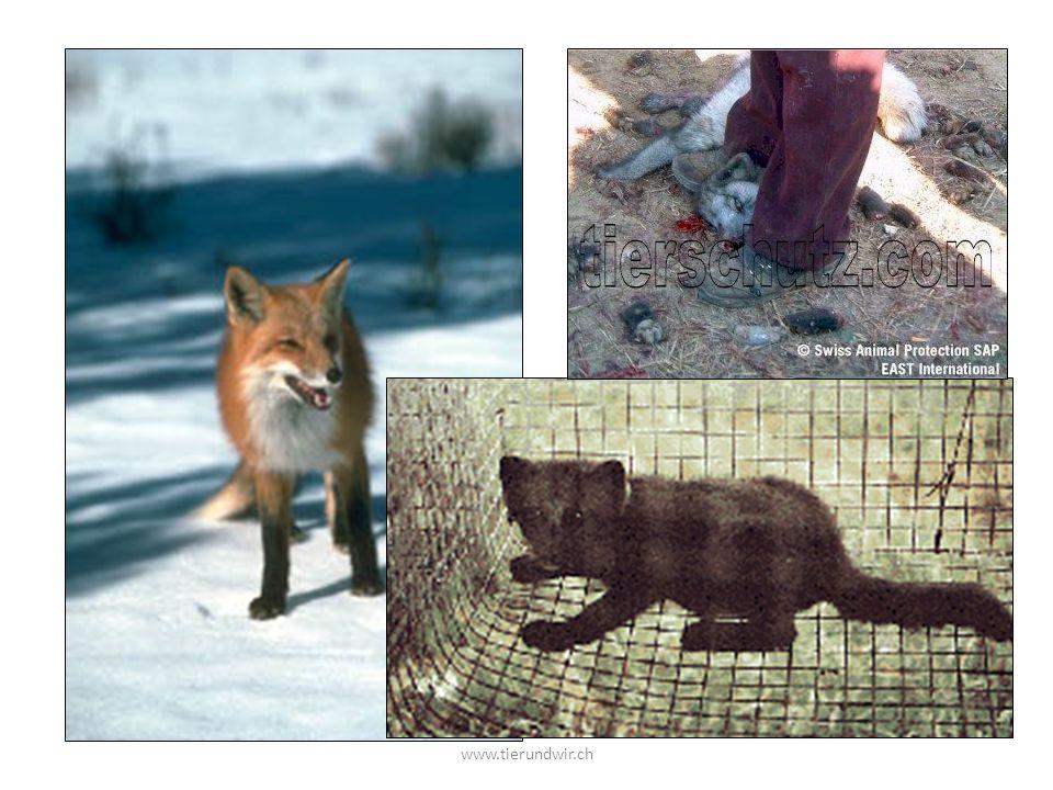 Wer hat schon einen Fuchs gesehen