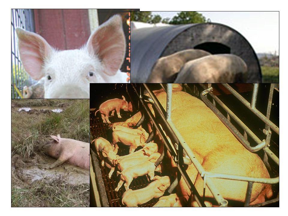 Wer kennt dieses Tier Geht's ihm gut Was haben sie gemeinsam, diese Schweine Ob es ihnen gut geht oder nicht, was geschieht mit allen