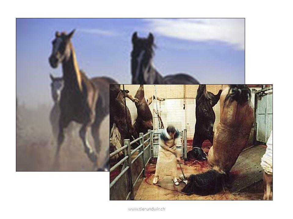 Wer mag Pferde Warum werden immer mehr Pferde geschlachtet www.tierundwir.ch