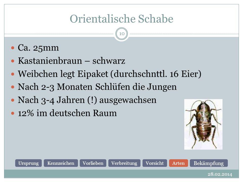 Orientalische Schabe Ca. 25mm Kastanienbraun – schwarz