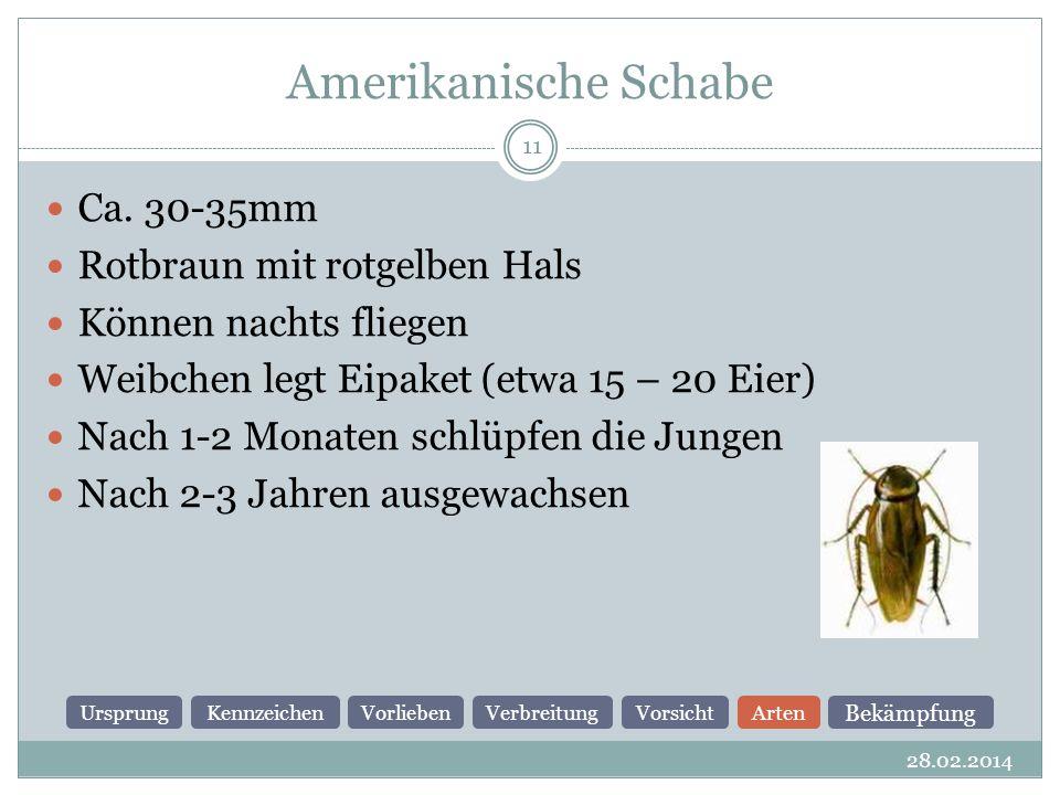 Amerikanische Schabe Ca. 30-35mm Rotbraun mit rotgelben Hals