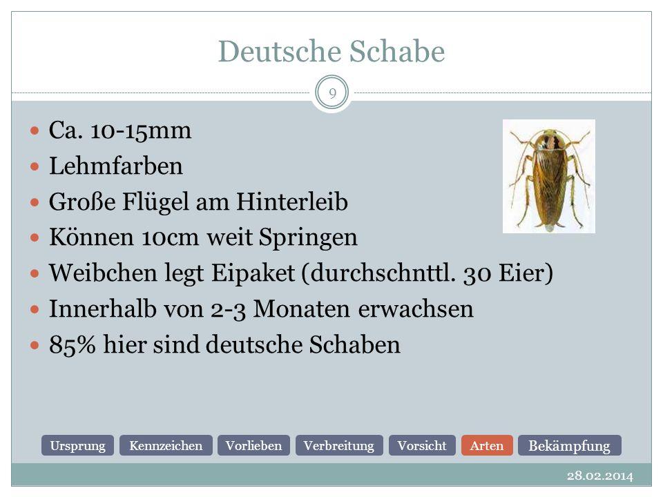 Deutsche Schabe Ca. 10-15mm Lehmfarben Große Flügel am Hinterleib