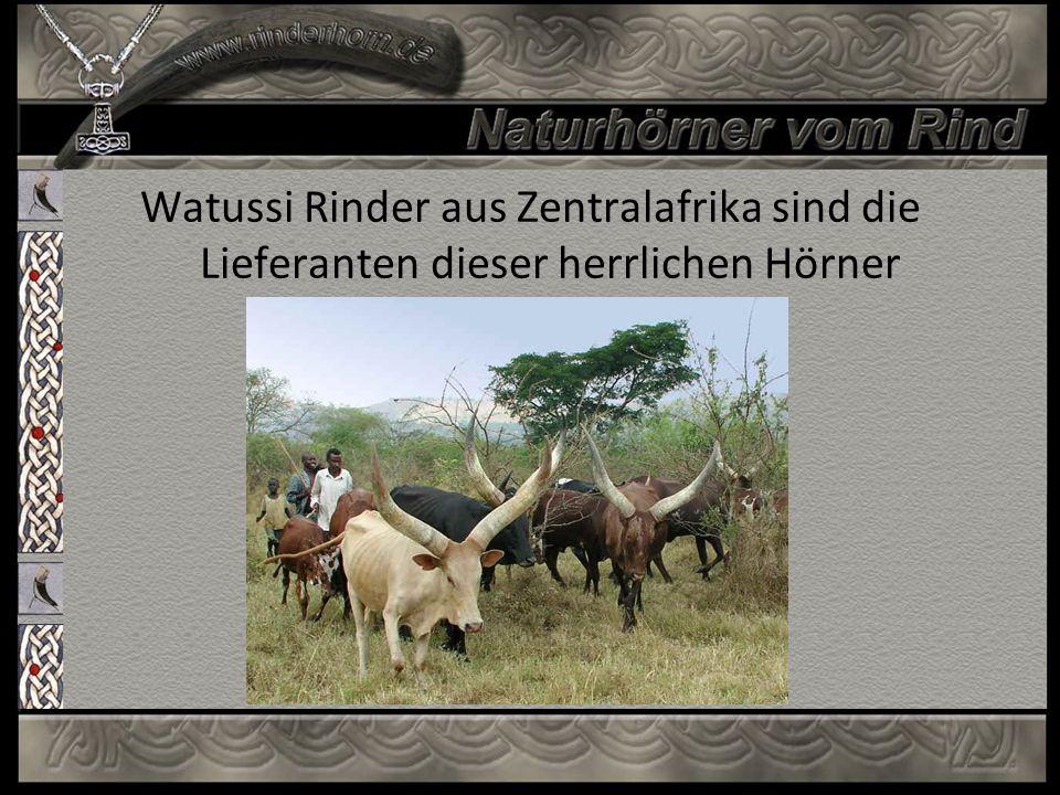 Watussi Rinder aus Zentralafrika sind die Lieferanten dieser herrlichen Hörner