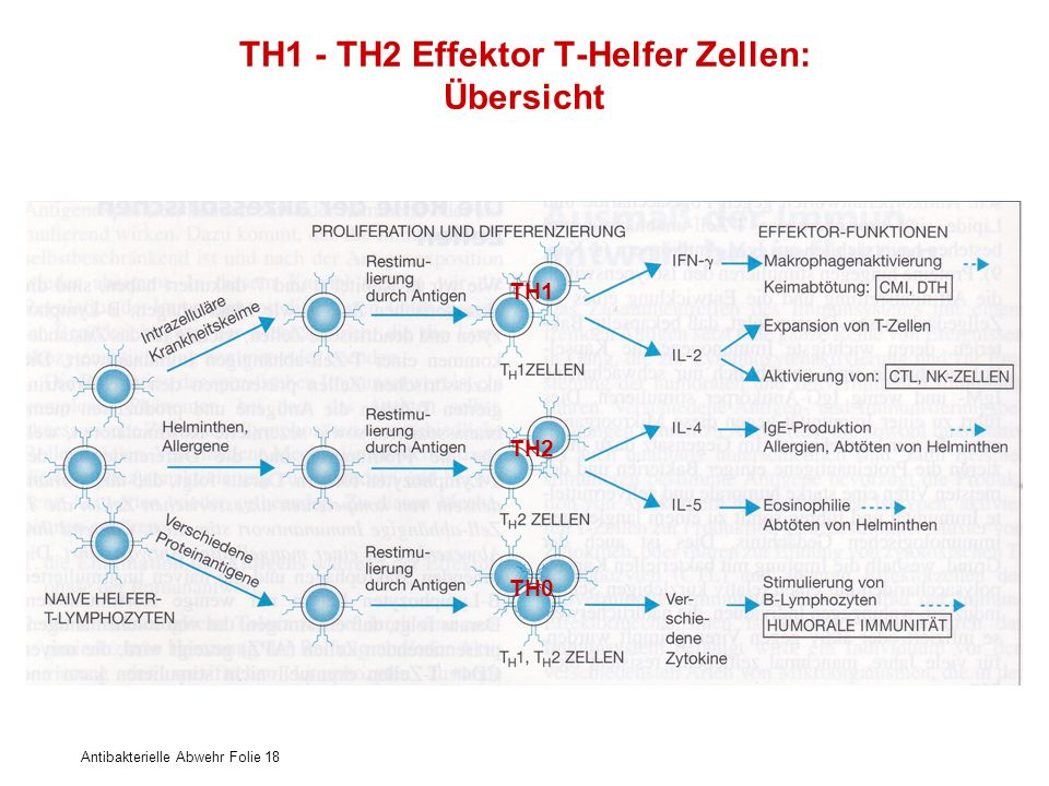 TH1 - TH2 Effektor T-Helfer Zellen: Übersicht