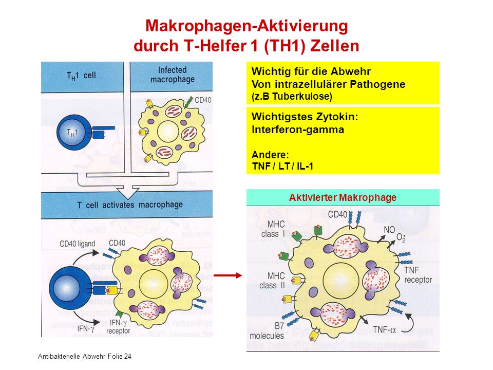 Makrophagen-Aktivierung durch T-Helfer 1 (TH1) Zellen