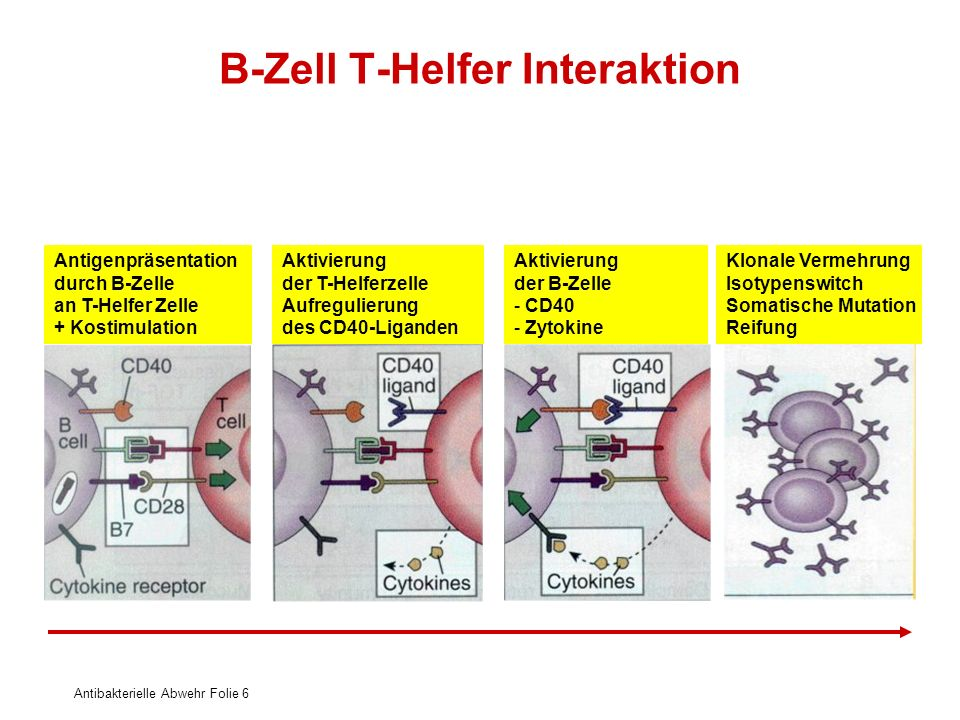 B-Zell T-Helfer Interaktion