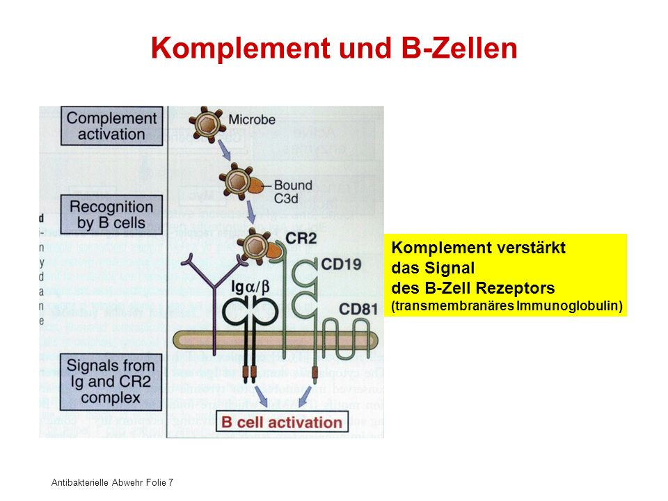 Komplement und B-Zellen