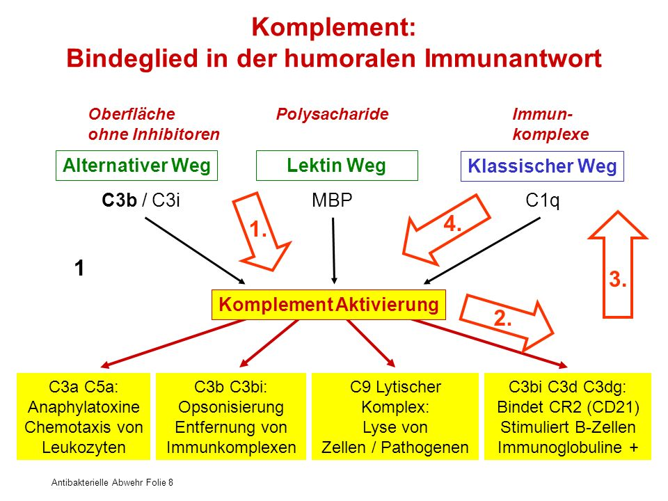 Komplement: Bindeglied in der humoralen Immunantwort