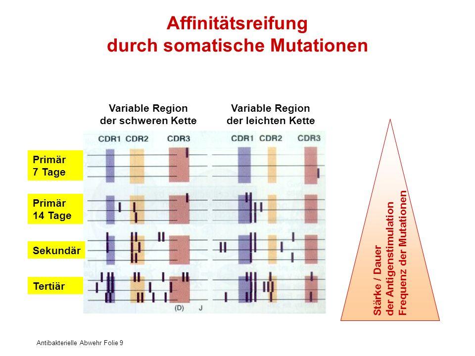 Affinitätsreifung durch somatische Mutationen