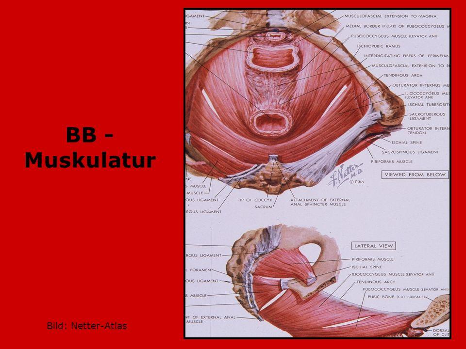 BB -Muskulatur Bild: Netter-Atlas