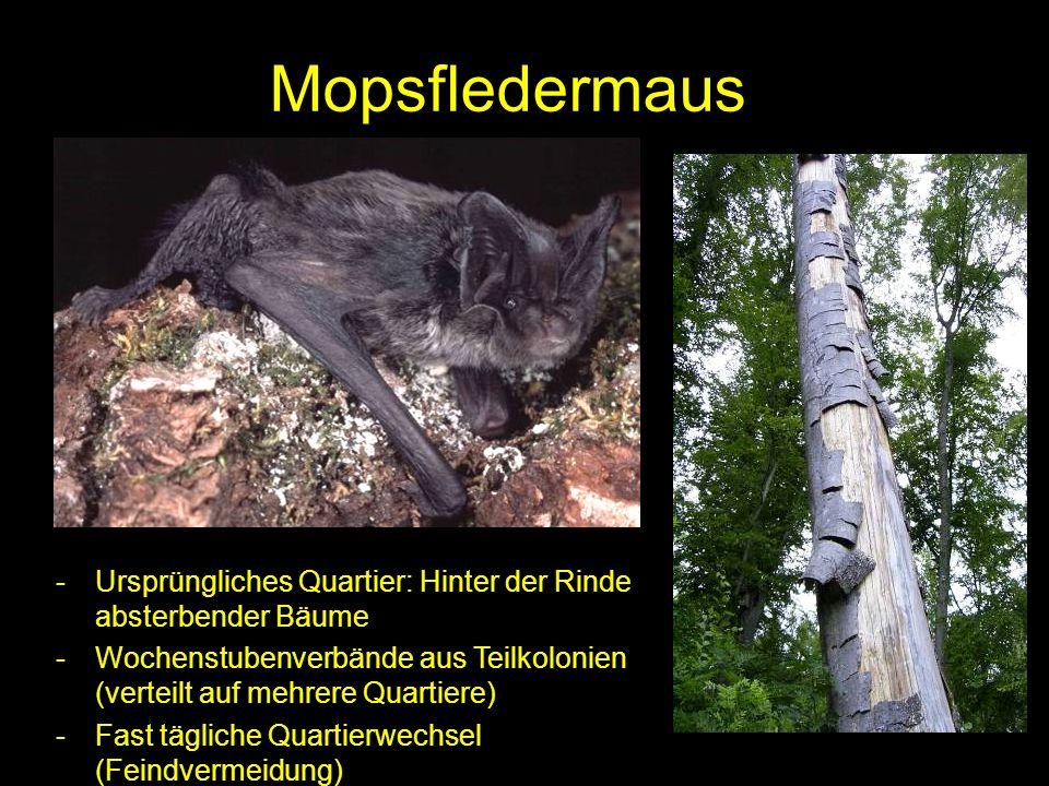 MopsfledermausUrsprüngliches Quartier: Hinter der Rinde absterbender Bäume. Wochenstubenverbände aus Teilkolonien (verteilt auf mehrere Quartiere)