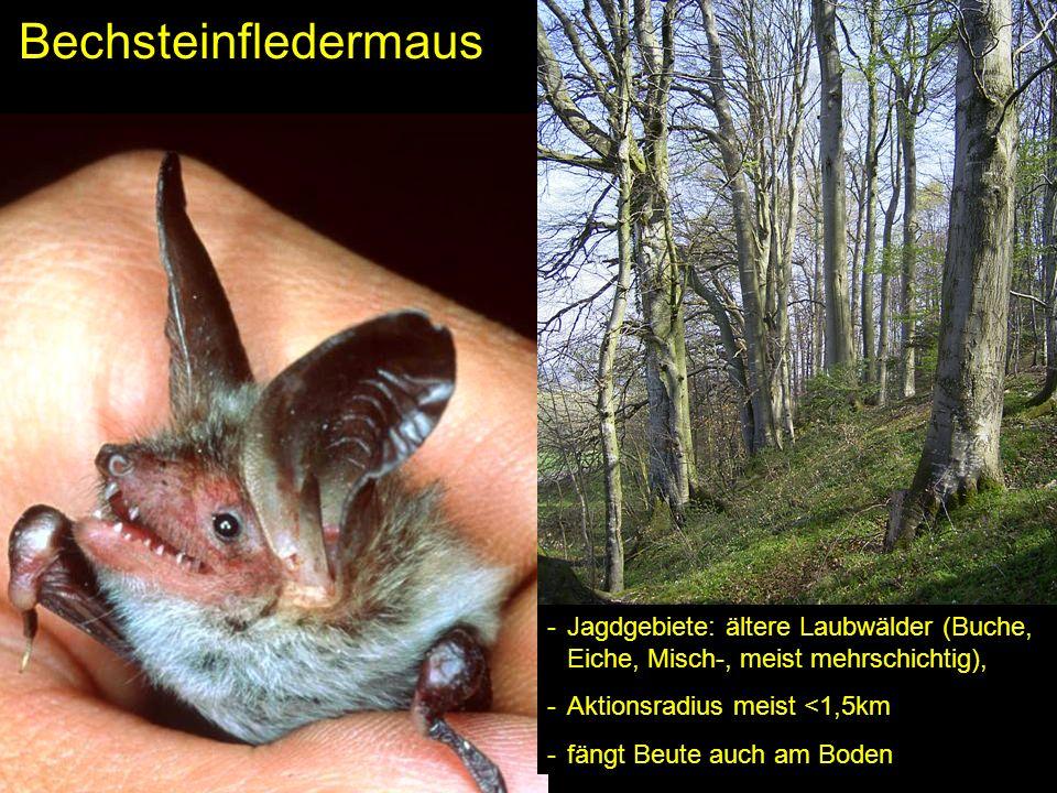 BechsteinfledermausJagdgebiete: ältere Laubwälder (Buche, Eiche, Misch-, meist mehrschichtig), Aktionsradius meist <1,5km.