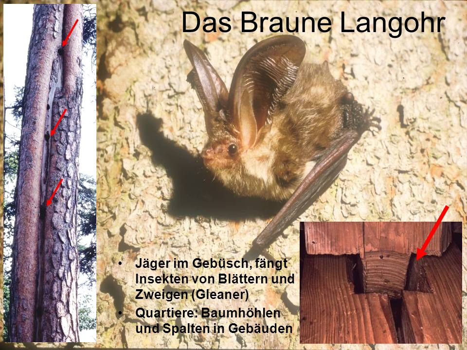 Das Braune LangohrJäger im Gebüsch, fängt Insekten von Blättern und Zweigen (Gleaner) Quartiere: Baumhöhlen und Spalten in Gebäuden.